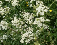 N Cut Cow parsley