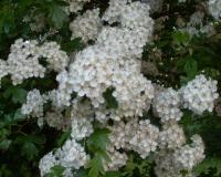 New cut hawthorn blossom