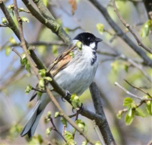 resize reed bunting