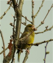 resized greenfinch