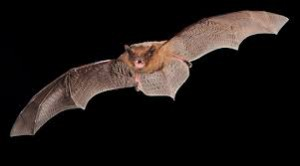 Pipistrelle 1