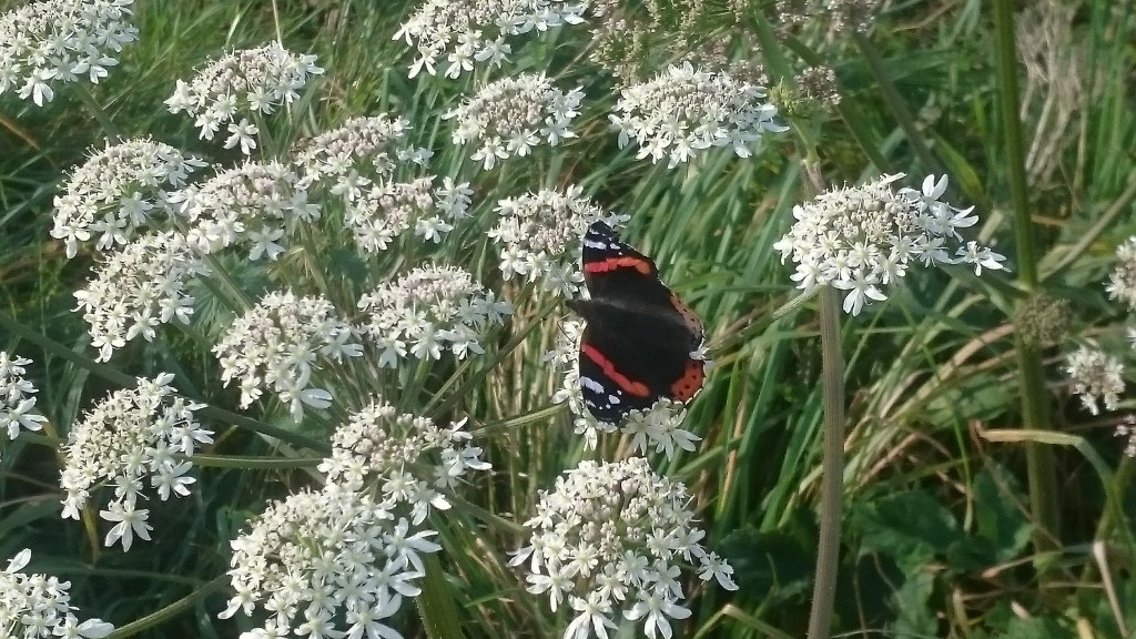 red-admiral-october